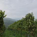 Weinberg, Veitshhöchheim, Maintal, Maintal-Trail, Trailrunning